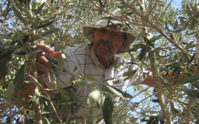 Jewish Activist Harvests Olives in Palestine
